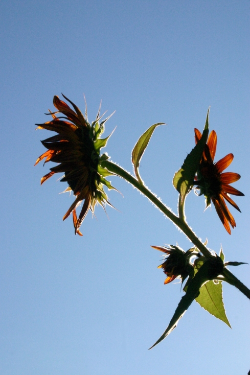 sept. 13 sunflower
