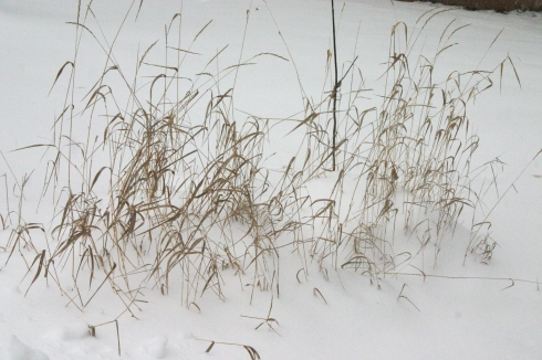 grasses in snow