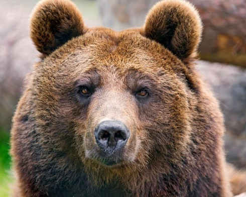 brown bear -- flickr